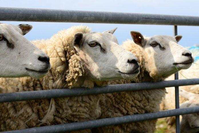 Texel sheep, sheep farming, sheep farmers, Texel sheep, sheep farming, Texels, sheep breeds