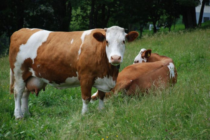 Fleckvieh, dairy cattle, beef cattle, dual-purpose breeds