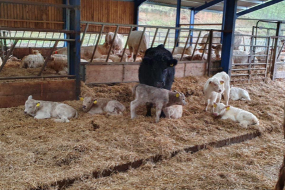 Suckler farming, calves, calving 2021, sucklers