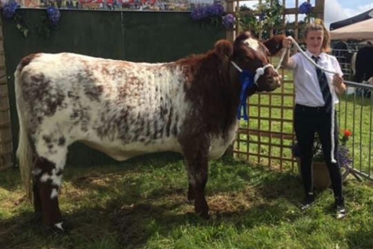 Shorthorn cattle, suckler farming, agricultural shows, cattle shows, field