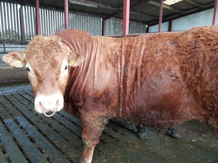 Suckler farming, buying a bull, bull for sale