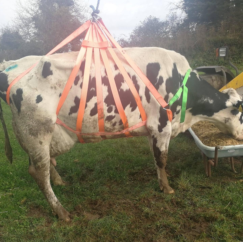 cow lifting harness, dairy farming,