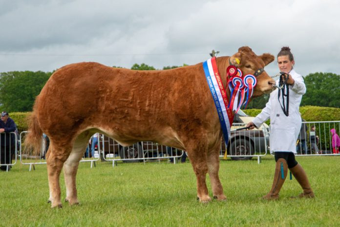 Limousin cattle, Limousin cows,