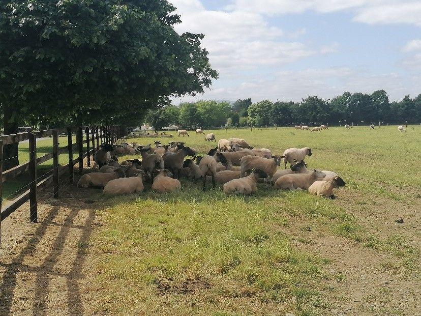 Kildalton Agricultural College, sheep farm, college farm,
