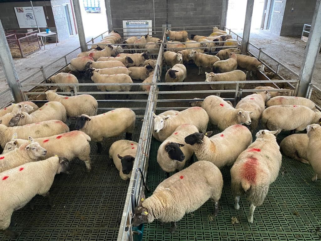 sheep, sheep farming, sheep farmers, Texel sheep,