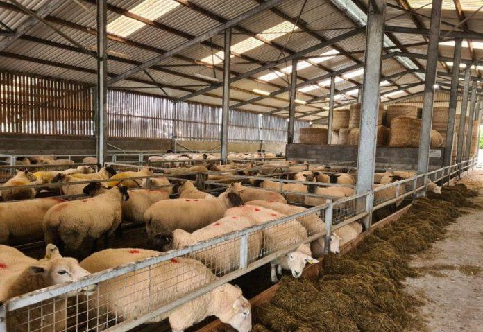 Kildalton Agricultural College, sheep, sheep farmer, sheep farming