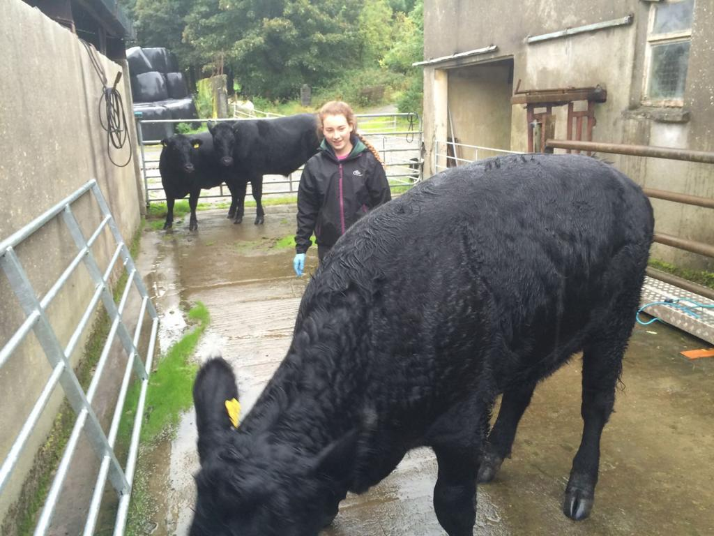 Certified Irish Angus Beef Schools Competition, beef farming, Angus, cattle