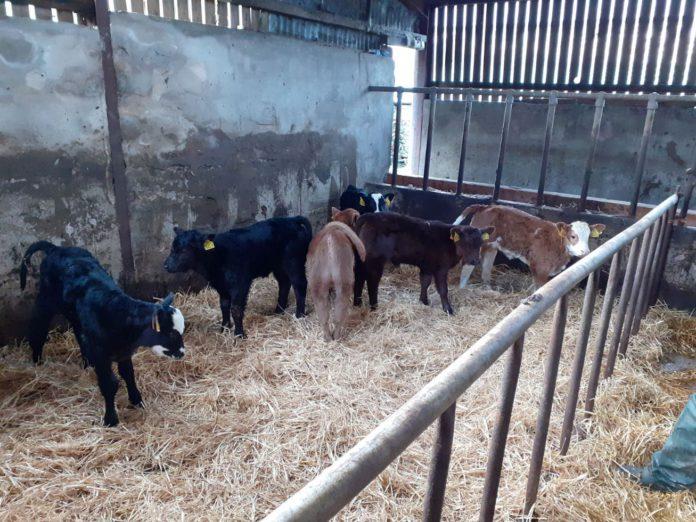 suckler cows, suckler farming, calving season, suckler farmers,
