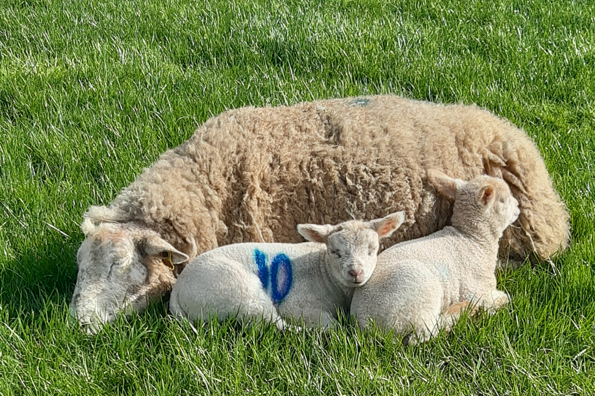 sheep farmer, sheep farming, farm girls, lamb,