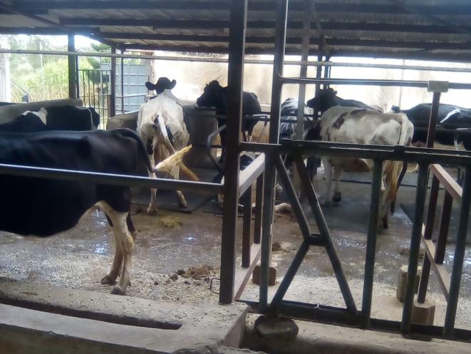 Dairy farming in Kenya, dairy cows, dairy farming,