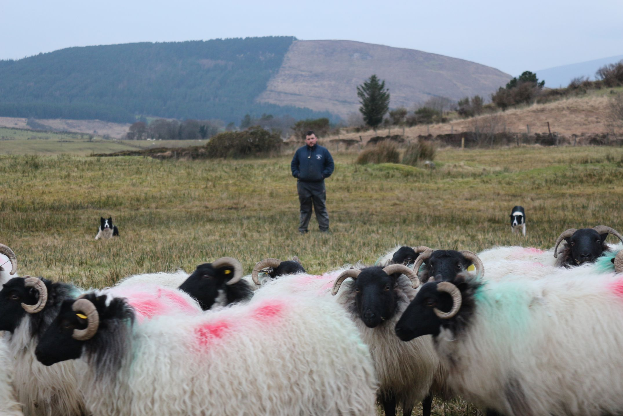 Derryharriff Sheepdogs, sheep, sheep farming, sheep farmer