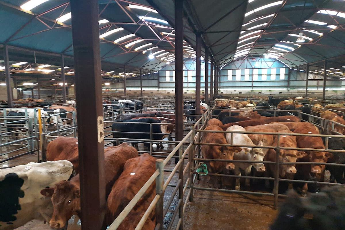 Granard Mart, cattle for sale, Longford mart,