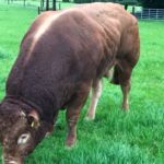 Jester, Limousin cattle