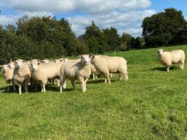 Galway sheep, sheep farming, sheep farmer