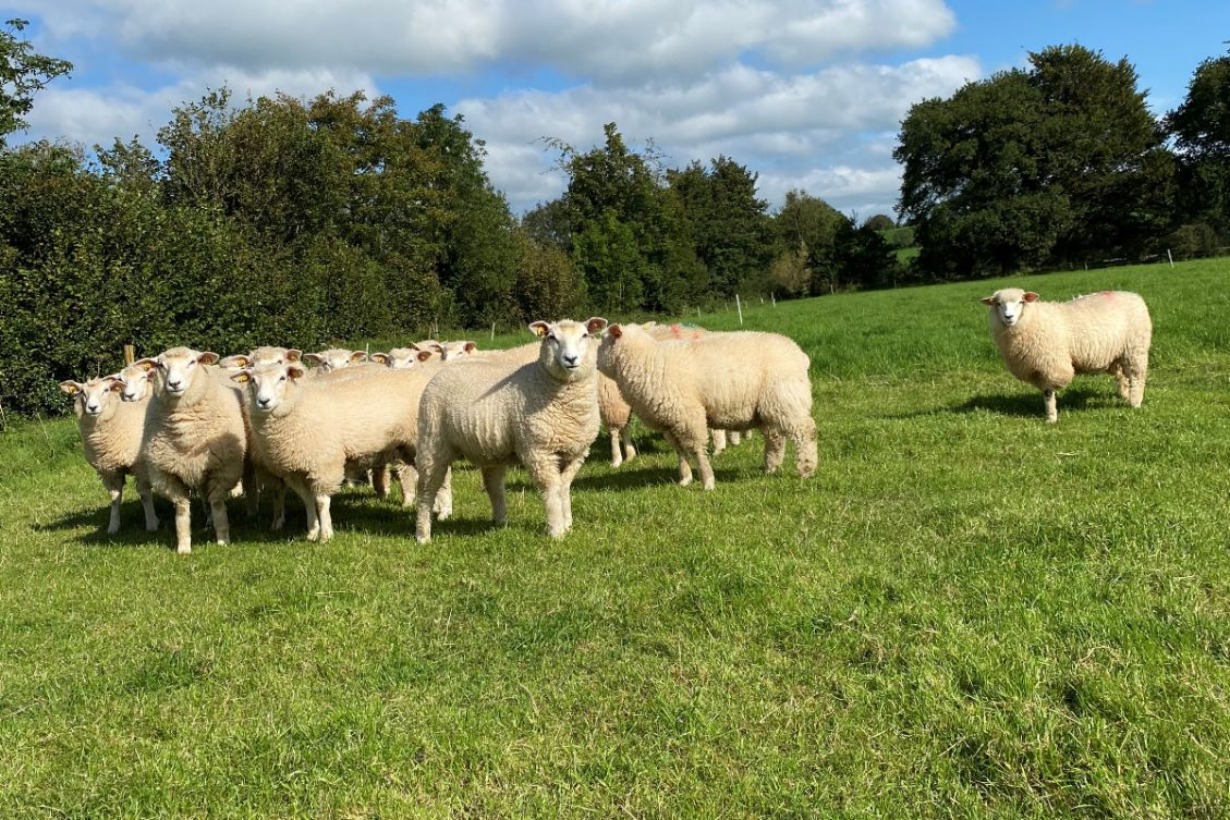 Galway sheep, sheep farming, sheep farmer