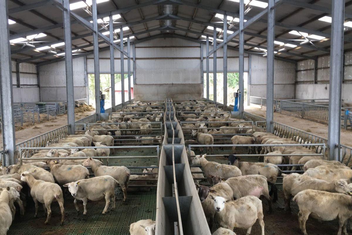 Katie Costello, sheep, sheep, farming, sheep farmer