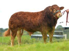 Ernevalley-Powerhouse, Limousin bull, Limousin bull sale Elphin