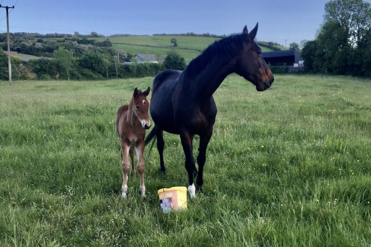 broodmares, mare and foal, horses in Ireland