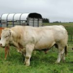 Charolais bull, Charolais cattle,