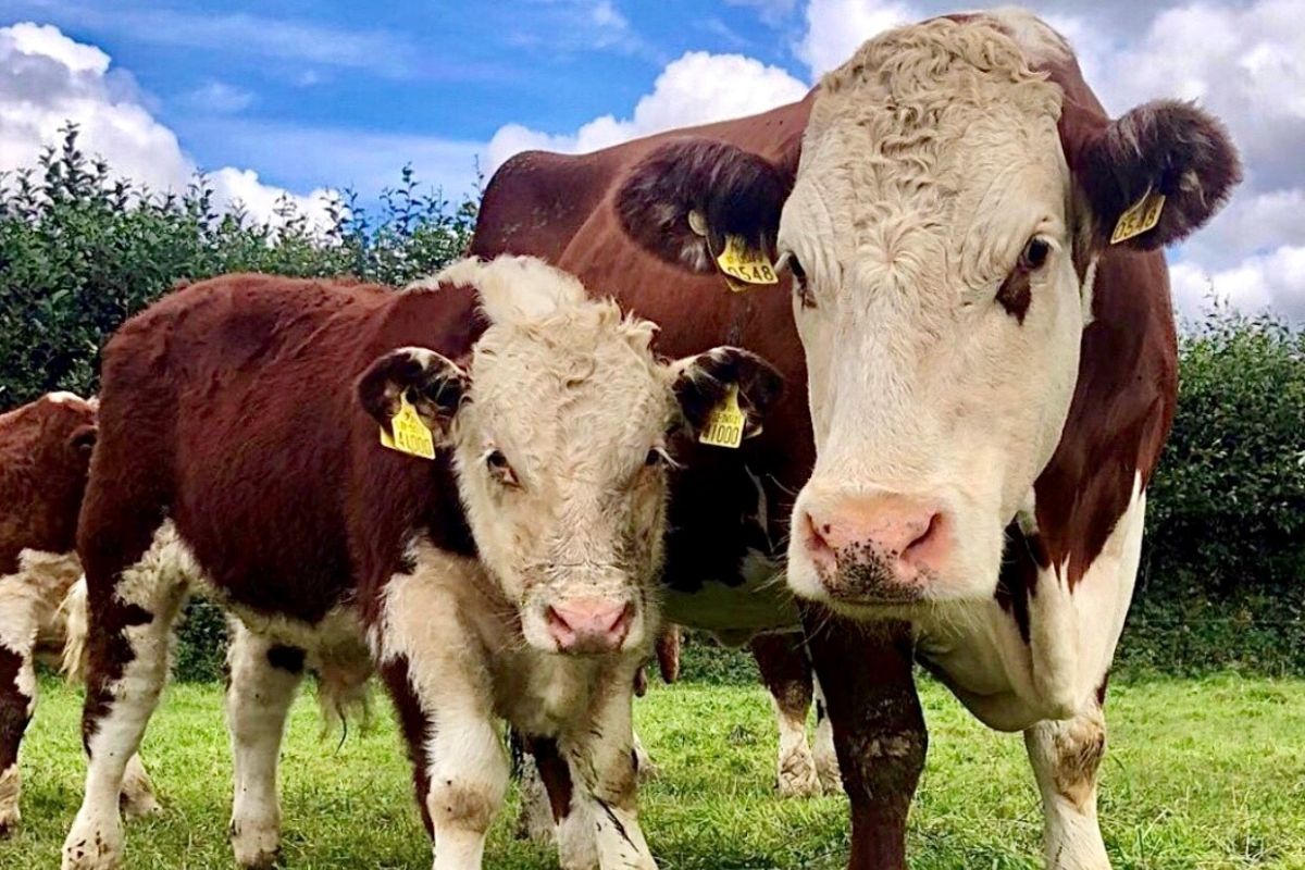 Hereford cattle, cows