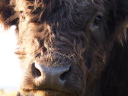 Beef, beef farming, beef farmers, beef prices,