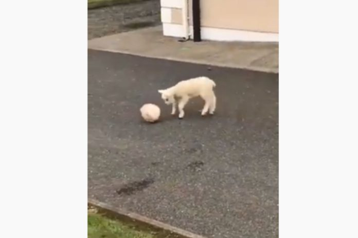 talented lamb plays ball, sheep farming, sheep farmer, sheep