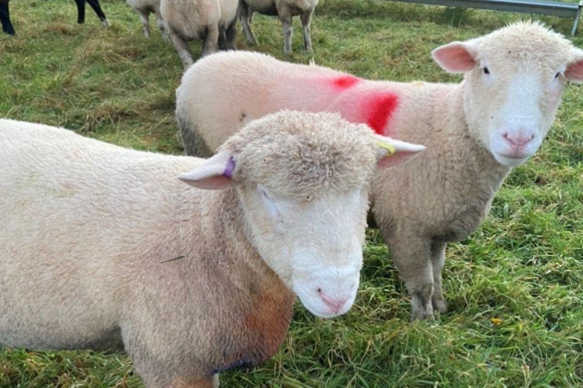 Polled Dorsets, sheep, sheep farming, sheep farmer, farming life,
