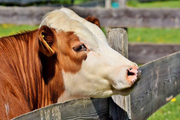 Dairy-beef calves, calf rearing, Teagasc, farming news, farming news Ireland