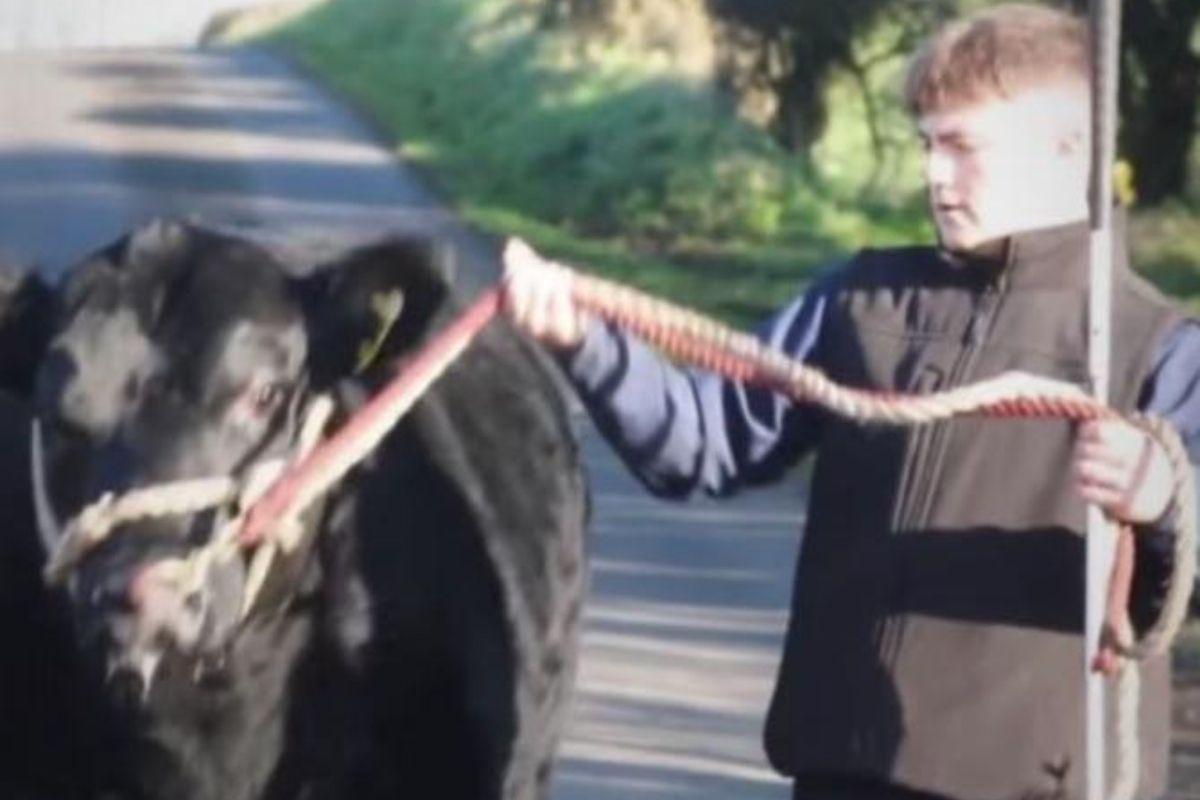 Irish Angus YDP, young handler