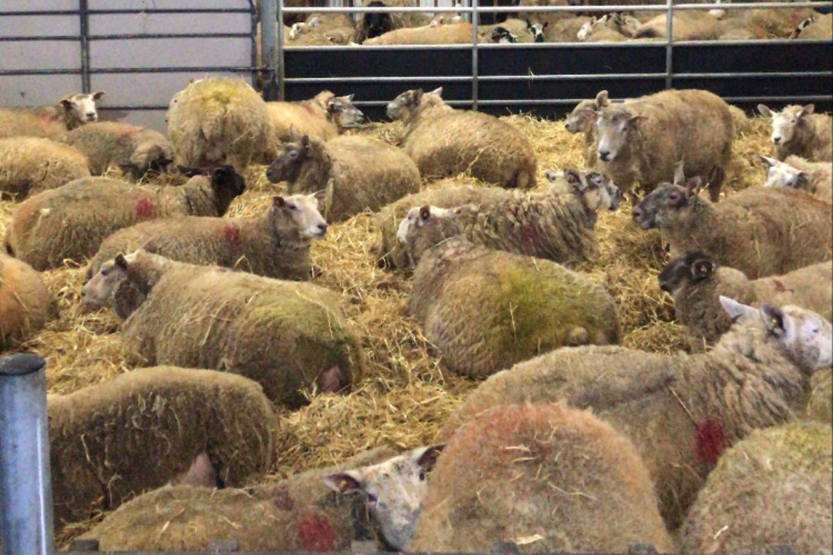 Sheep farming, sheep farmer, Edward Earle