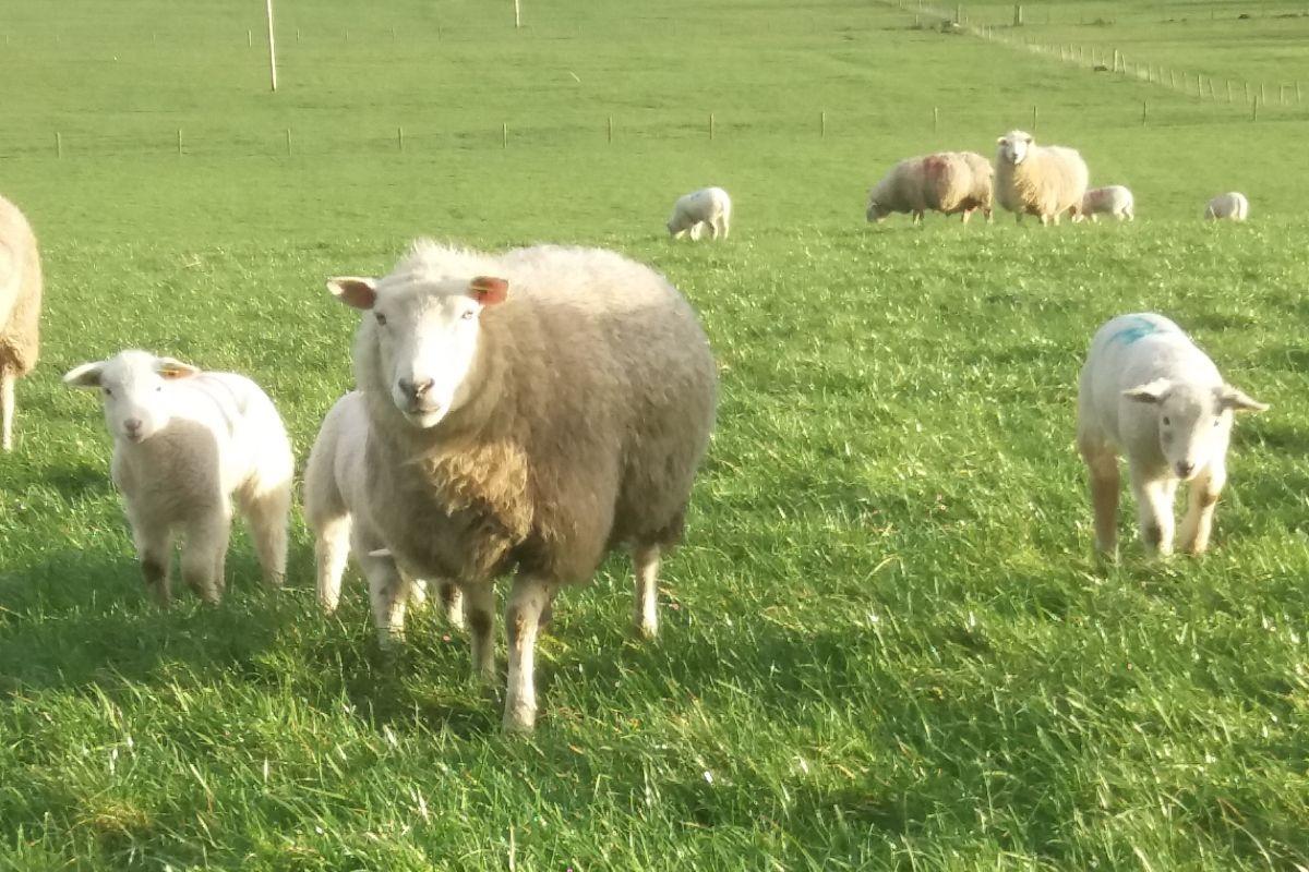 Sheep farmer, sheep farming,