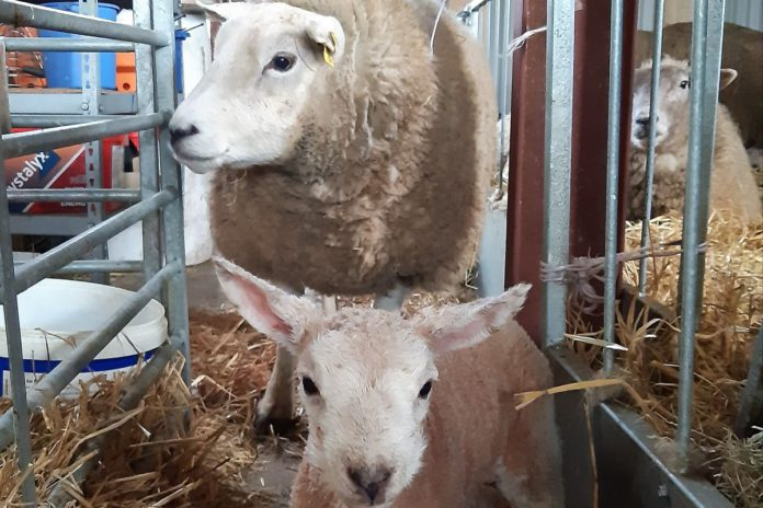 sheep, lambing, sheep farmer Ireland, Clodagh Hughes