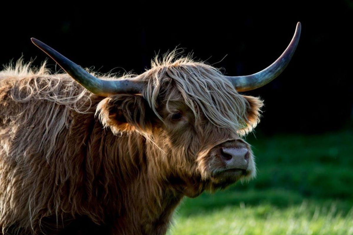 Castleview Open Farm, Highland Cattle,