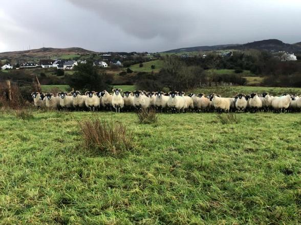 sheep farming in Mayo, ewes, farming Ireland,