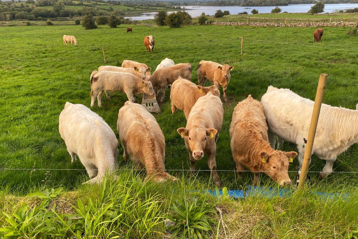 Charolais cattle, farm girls, women in ag, suckler farming