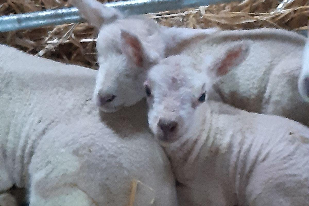 Clodagh Hughes, sheep, sheep farmer, sheep farming