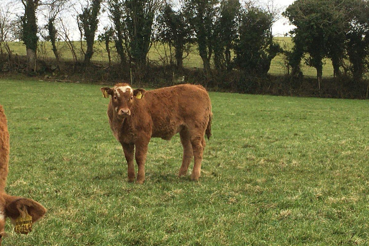 Limousin-cross-Simmental cattle, suckler farming in Ireland, suckler cows, farming news