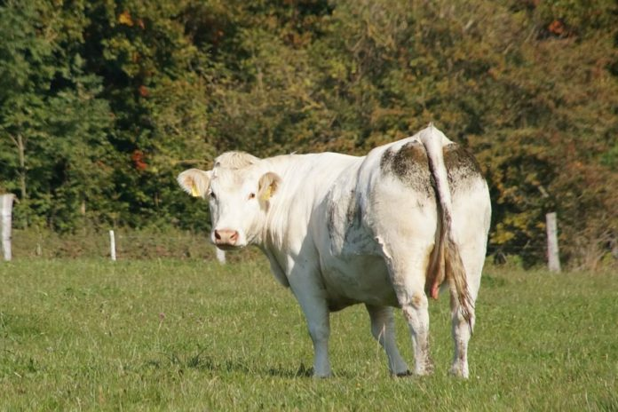 beef farming, beef prices, beef farming, Charolais cattle