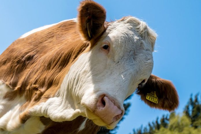 Beef prices, beef farming, beef farmers