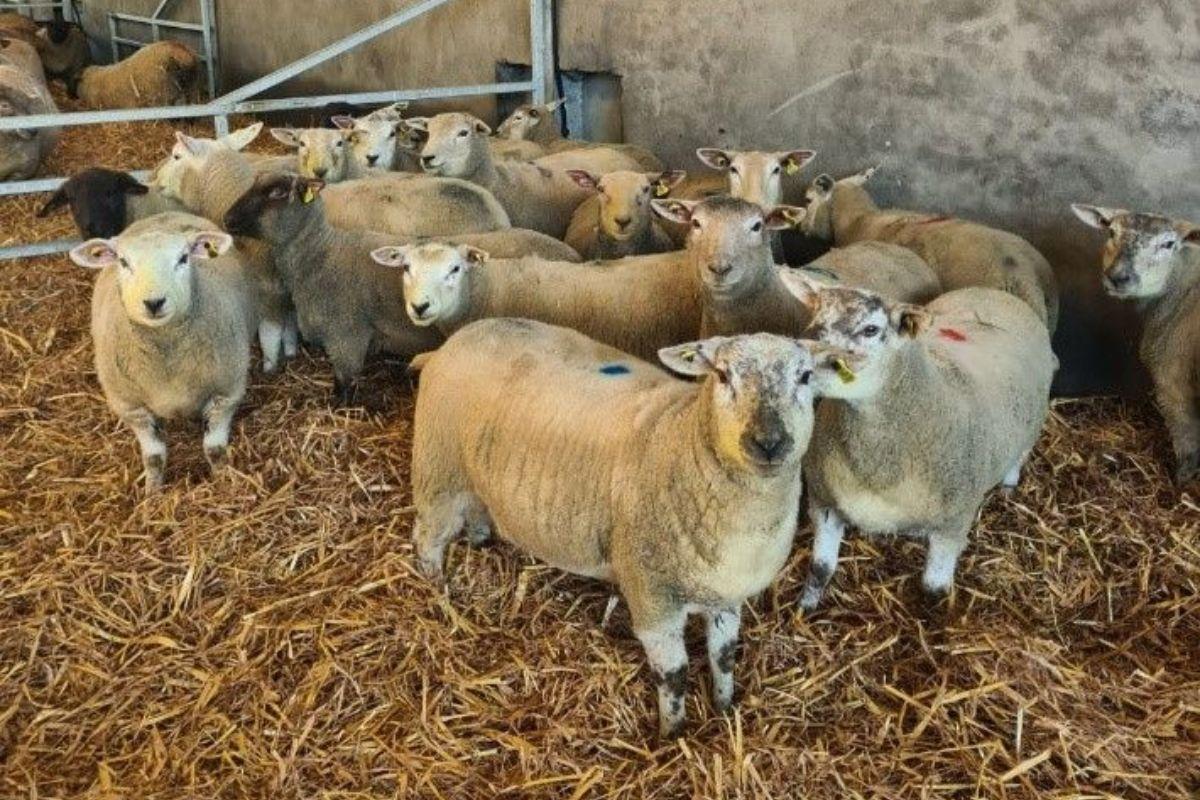 Kildalton Agricultural College, sheep, sheep farming, sheep farmers,