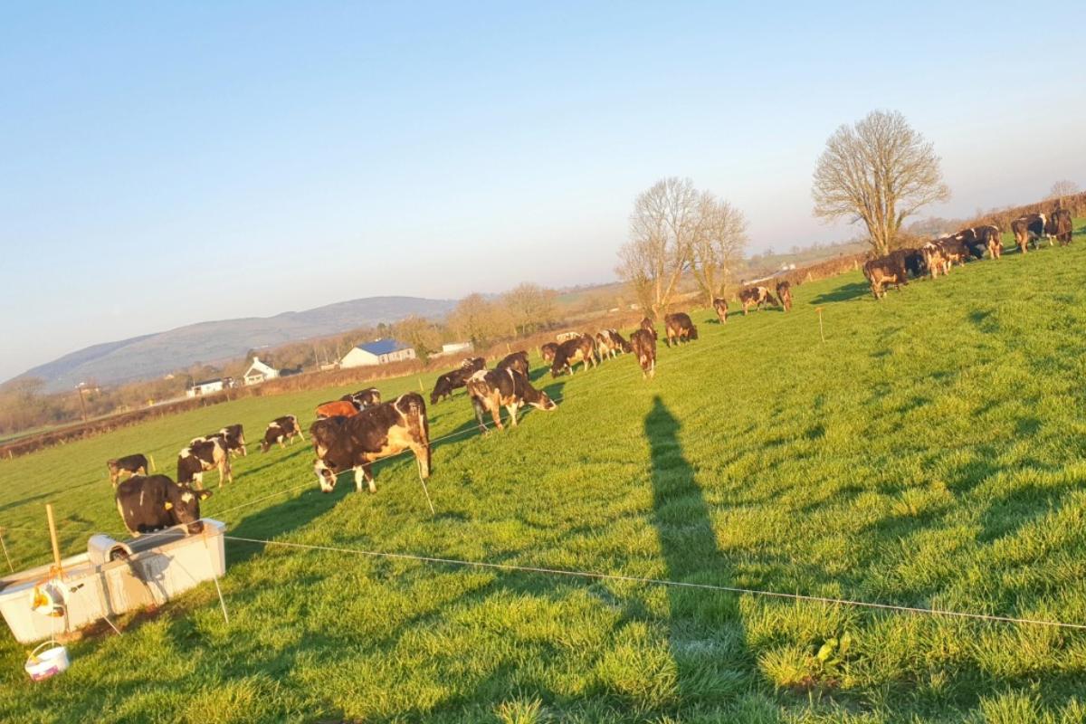 Philip Roche, dairy farmer, dairy farming, dairy cows, grassland management