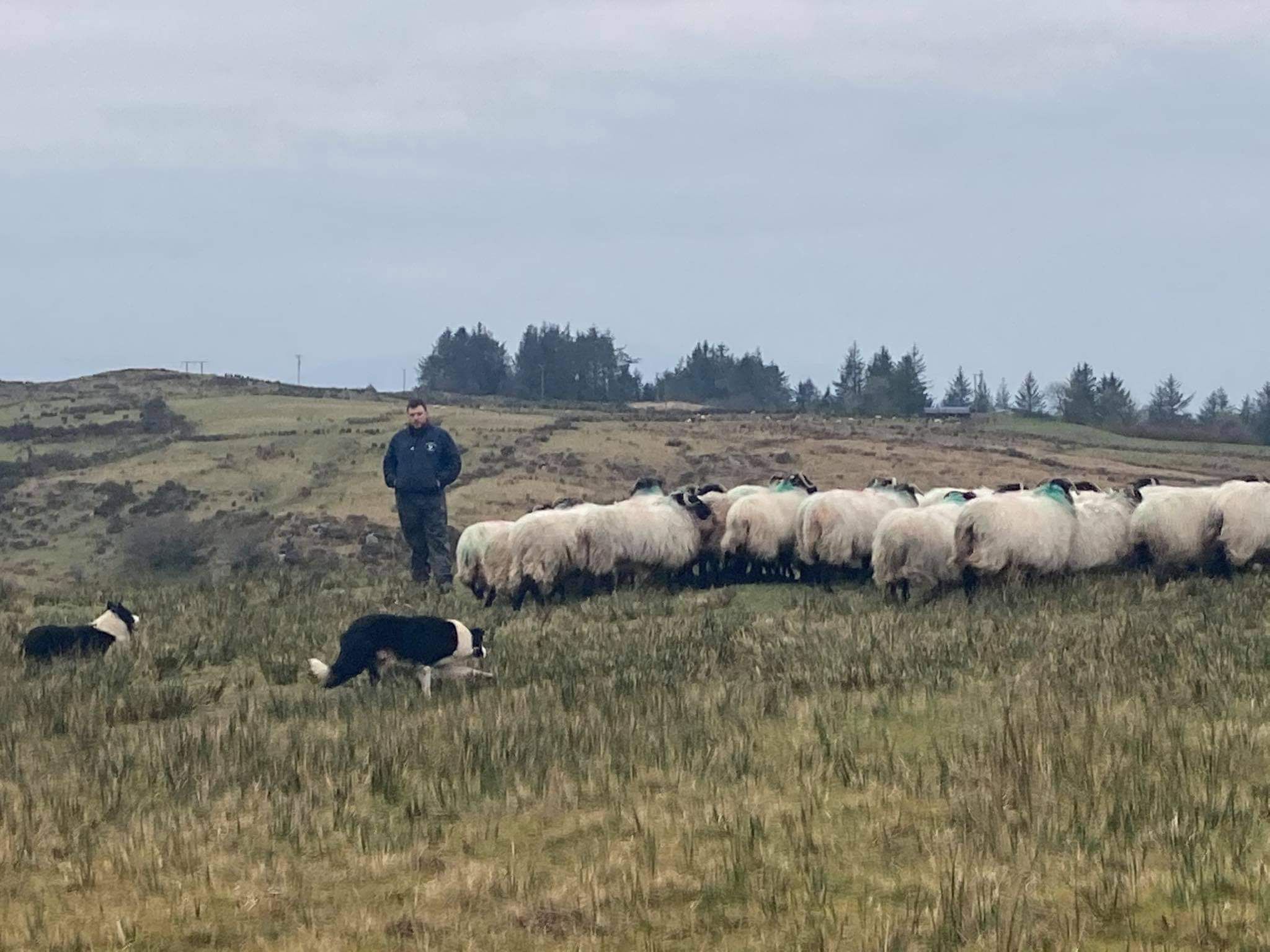 Derryharriff Sheepdogs, sheep farmer, sheep farming,