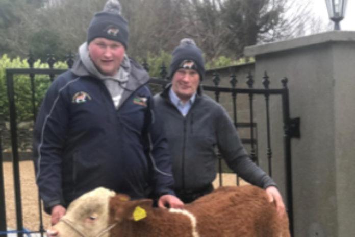 Ballyregan Simmental, Simmental cattle