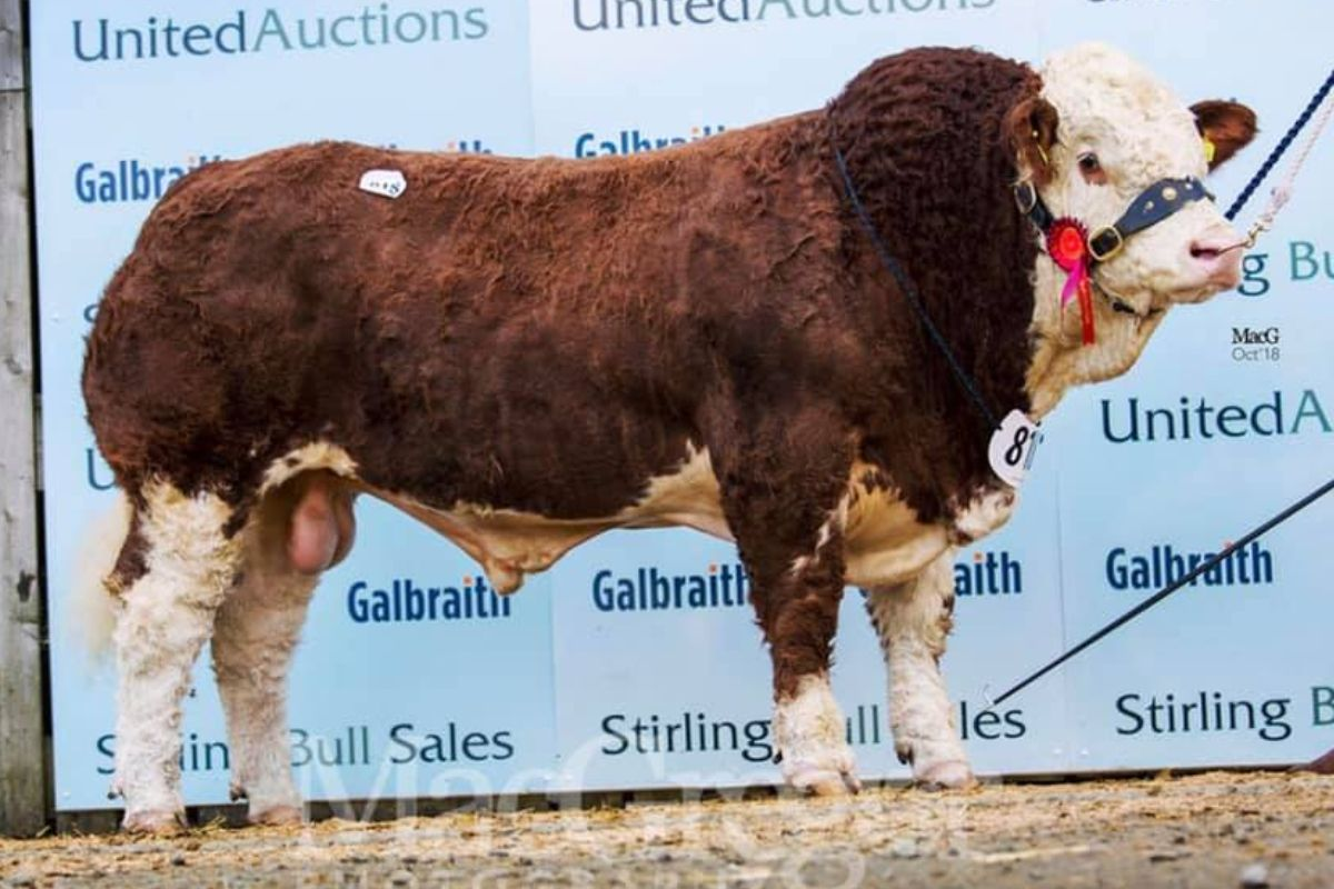 Saltire Impressive, Simmental, suckler farming, sucklers, AI bull, Simmental catlte