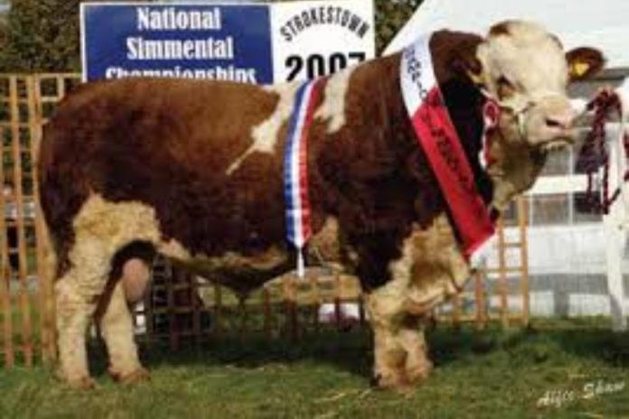 Hillcrest Butcher, Simmental cattle, AI bulls, Progressive Genetics