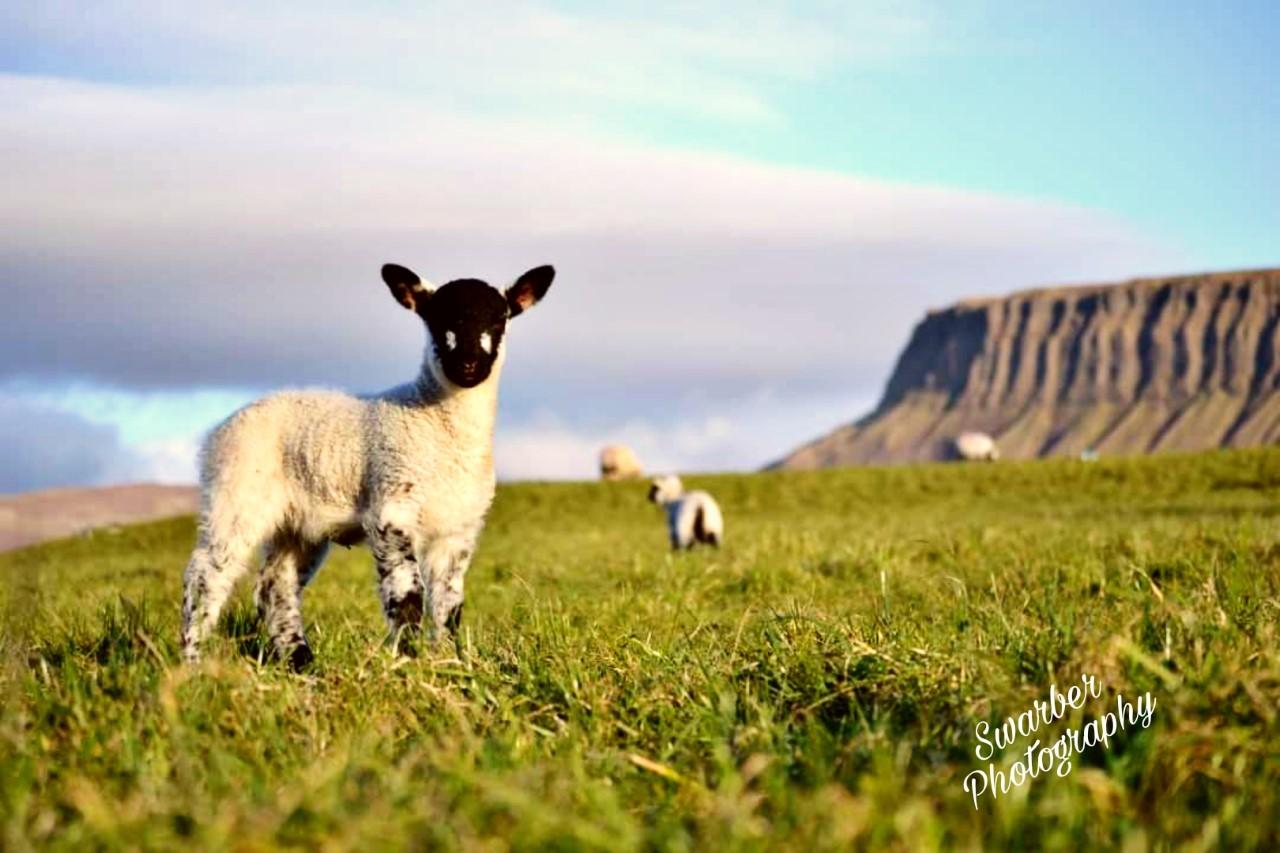 Sheep, sheep farmer, sheep farming,