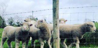 sheep, polled Dorsets, sheep, sheep farming,