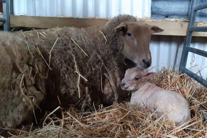 Clodagh Hughes, sheep farming, sheep farmer