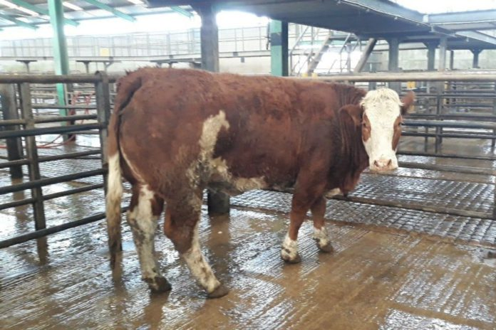 Ennis Mart, cattle prices, mart reports, mart prices