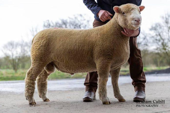 Downkillybegs Dazzler, Dorset sheep, sheep farming, Ballymena Mart,